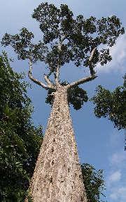 チェディールアン 御神木