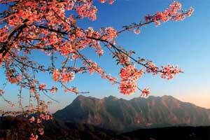 チェンマイ桜