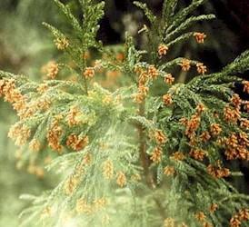 沖縄には花粉症がない